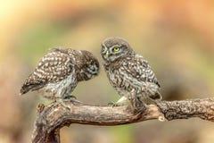 Сычи в естественной среде обитания 2 маленький сыч, noctua Athene, сидя на ручке стоковая фотография rf