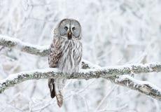 Сыч большого серого цвета садился на насест в дереве в зиме стоковая фотография rf