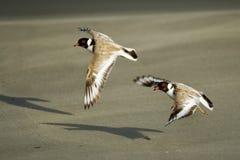 С капюшоном ржанка - shorebird cucullatus Thinornis малый - wader - на песчаном пляже Австралии, Тасмании стоковое изображение