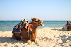 сamel on the sea beach Royalty Free Stock Photo