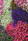 Сarpet of flowers Impatiens Royalty Free Stock Photo