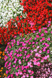 Сarpet of flowers Impatiens Royalty Free Stock Images