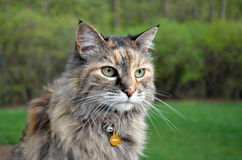 Сat Maine Coon in garden Royalty Free Stock Photo