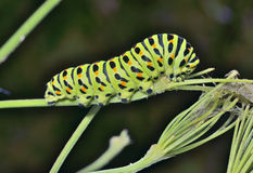 Сaterpillar of swallowtail 6 Royalty Free Stock Image