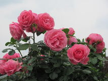 Ð¡harming rose against the sky Stock Image