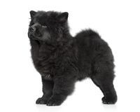 Ð¡how chow long-haired puppy. Ð¡how-chow long-haired puppy on white background stock images