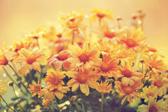 Сhrysanthemum flowers Stock Photography