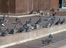 Ð¡ity pigeons. Grey city pigeons at the street royalty free stock photography