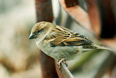 Ð¡ity Sparrow. Sparrow is widespread in the cities of small bird royalty free stock images