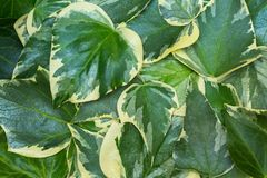 Ð¡lose-up of Algerian ivy Hedera Algeriensis leaves. Abstract green background with picturesque two-color leaves.  royalty free stock photo