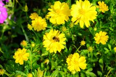 Bee on flower,bee collecting honey. Сlose-up bee on yellow flower,bee collecting honey royalty free stock image