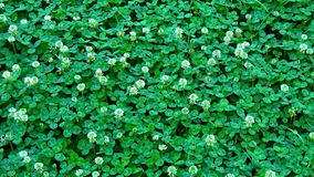 Ð¡lover, backgrounds. The photo is a closeup of a flowering white clover stock photography