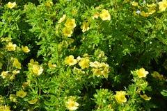 Ð¡ompact, flowering shrub Potentilla, (Mango Tango), latin Potentilla fruticosa& x29;. Potentilla, & x22;Mango Tango& x22; & x28;latin Potentilla stock photo