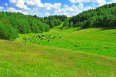 Сows on a spring meadow Royalty Free Stock Images