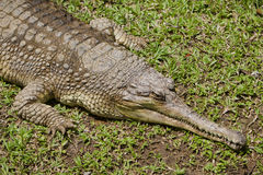 Ð¡rocodile gavial Royalty Free Stock Images