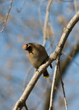 Сurious Waxwing Royalty Free Stock Photography