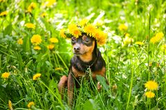 Ð¡ute puppy, a dog in a wreath of spring flowers on a flowering. Meadow, a portrait of a dog. Spring Summer theme stock images