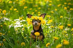 Ð¡ute puppy, a dog in a wreath of spring flowers on a flowering. Meadow, a portrait of a dog. Spring Summer theme stock photos