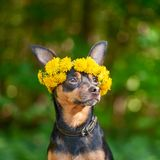 Сute puppy, a dog in a wreath of spring flowers on a natural ba. Ckground of a green forest, a portrait of a dog. Spring Summer theme Royalty Free Stock Photos