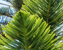 Экзотические листья и ветви красивой сосны араукарии стоковая фотография rf