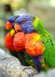 Этот радуга Lorikeets садить на насест на ветви и смотреть очень красочна и приручена стоковая фотография rf