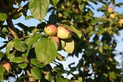 Яблоки на яблоне стоковые фотографии rf
