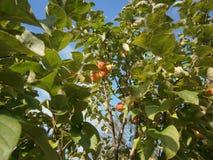 Яблоки на яблоне стоковое фото rf