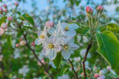 Яблоня зацветая в саде Весна Справочная информация стоковое изображение