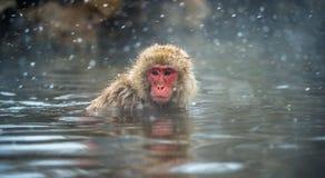 Японская макака на горячих источниках Jigokudani Японская макака, научное имя: Fuscata Macaca, также известное как обезьяна снега стоковая фотография rf
