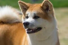 Японская порода конца-вверх собак Акита стоковые фотографии rf