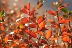 Яркие красочные листья на кусте кизила в выравнивать солнечный свет стоковые фото