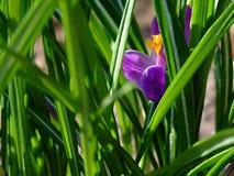 Ярко-фиолетовый крокус среди зеленых травинок stock photos