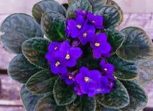 Узамбарская фиалка, пурпурный африканский фиолет в цветочном горшке на предпосылке деревянных планок стоковые фотографии rf