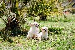 Улыбки собаки 2 чихуахуа длинн-с волосами и коротк-с волосами и скрывание от солнца под пальмой на зеленой траве на горячий летни стоковая фотография rf