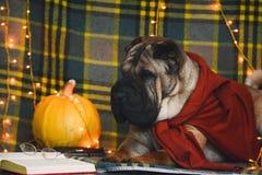 Умный и смешной Браун Shar Pei лежит и читает книгу в свитере на одеяле стоковое изображение rf