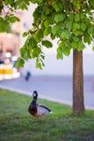 Утка в парке около дерева Повернул клюв вперед стоковое фото rf