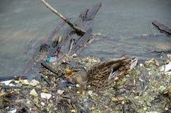 Утка кряквы в грязной речной воде стоковая фотография rf