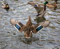 Утка принимает в пруд стоковое изображение