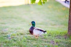 Утка стоит на лужайке ждать женщину стоковые изображения rf