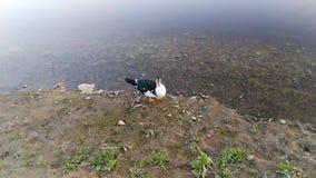 Утка тихо идя рекой сток-видео