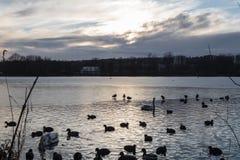 Утки и гусыни плавая в холодной воде озера в силуэтах захода солнца стоковые изображения