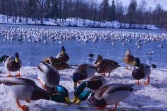 Утки и чайки на береге большого озера стоковая фотография