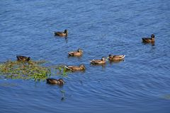 Ducks on the blue river royalty free stock photo