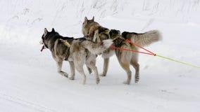 Участвовать в гонке собаки скелетона сиплые сток-видео