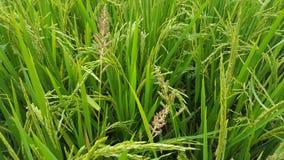 Урожаи риса стоковое изображение