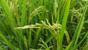 Урожаи риса стоковая фотография rf