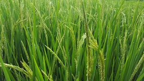 Урожаи риса стоковая фотография