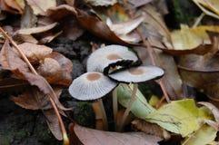 """ у de Ð?Ñ do ¼ Ð?Ð ½ Ð ½ Ð?Ð  Ñ ¾ Ð ² Ð ‹Ñ€Ð¸Ð±Ñ ³ Ре ‹"""" Ñ Ð"""" do ` Ð?Ð de Ð Cogumelos brancos na floresta do outono Imagens de Stock"""