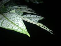 шарм лист папапайи с росой утра которая все еще вставляет к темному утру стоковые фотографии rf
