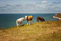 Шведские коровы на Clifftop стоковые фотографии rf